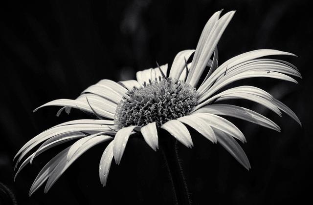 白黒のい悲しい花